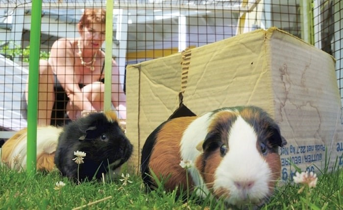 Rice cares for her guinea pigs. File photo by Mike Wakefield/North Shore News