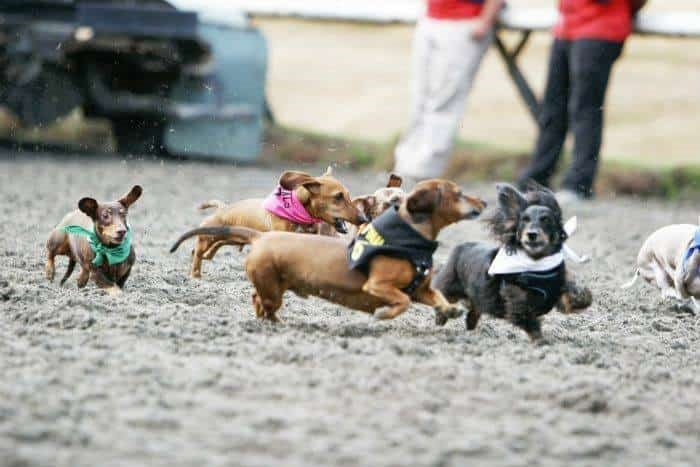 Victoria Dachshund Meet-up GroupDog | Days of Summer at Hastings Racecourse /