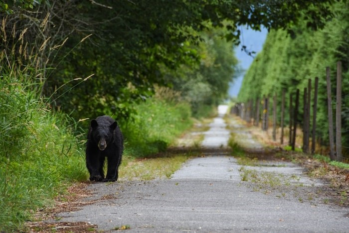 A bear slowly walks down the road toward the Minnekhada Regional Park entrance. The road has been closed to vehicles because of high bear activity. Photo by Stefan Labbé/Tri-City News