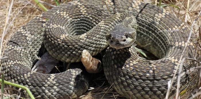 Photo: Northern pacific rattlesnake (Crotalus oreganus) in California / Shutterstock