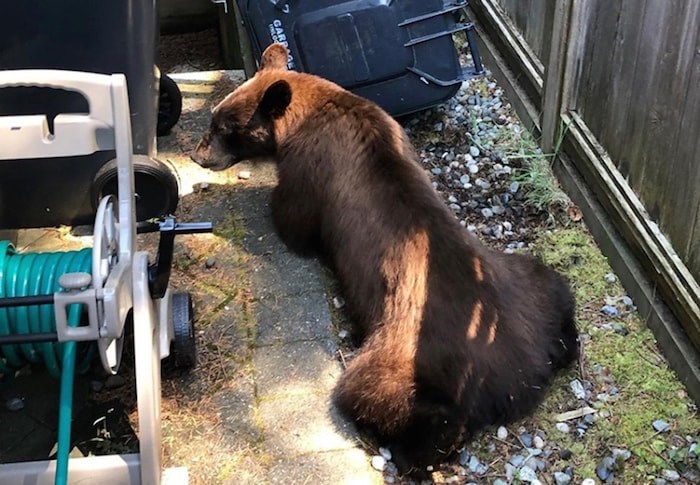 A bear spotted in Lynn Valley, not long before it was shot by conservation officers. Photo courtesy North Shore Black Bear Society
