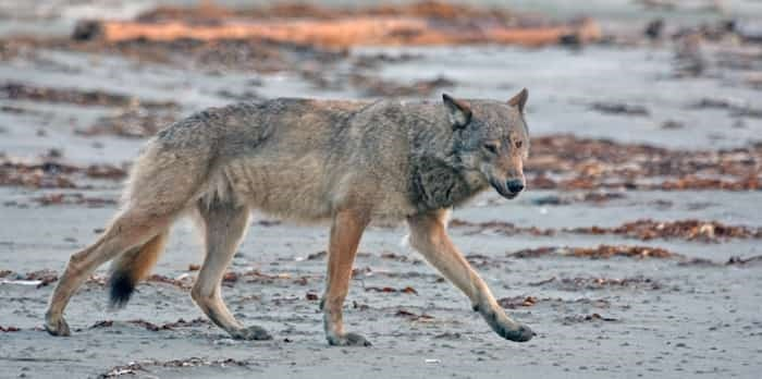 An early-morning visit by one of the wolves on the Hesquiat Peninsula. Photo: Jacqueline Windh