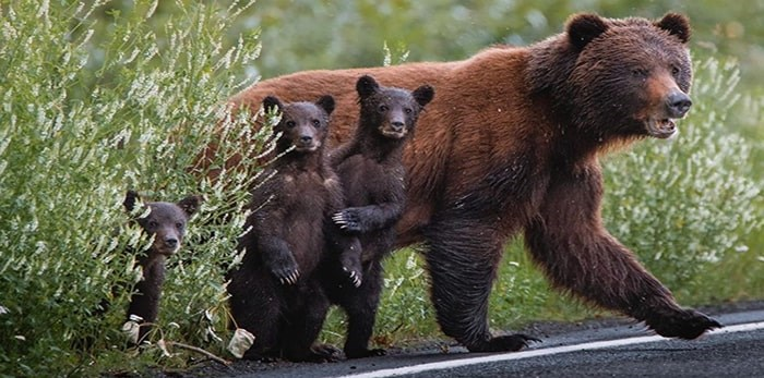 Vancouver photographer captures image of curious grizzly cubs. Photo: Ian Harland