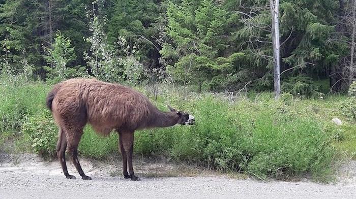 Coco the llama. Photo courtesy Jessica Udchitz