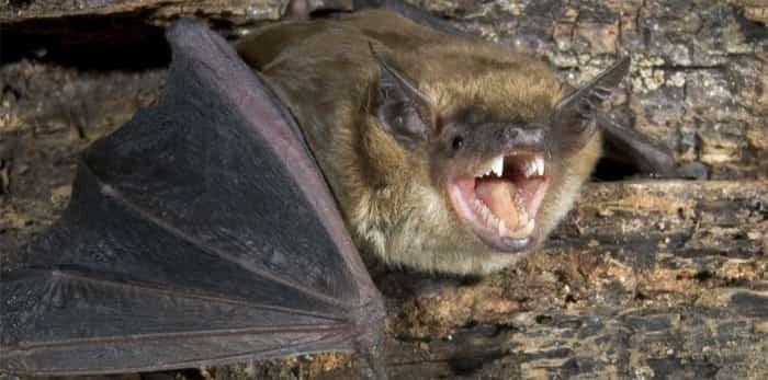 Photo: Big brown bat / Shutterstock