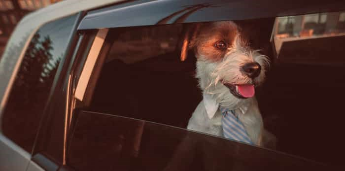 Photo: Business style dog looking out of car window / Shutterstock