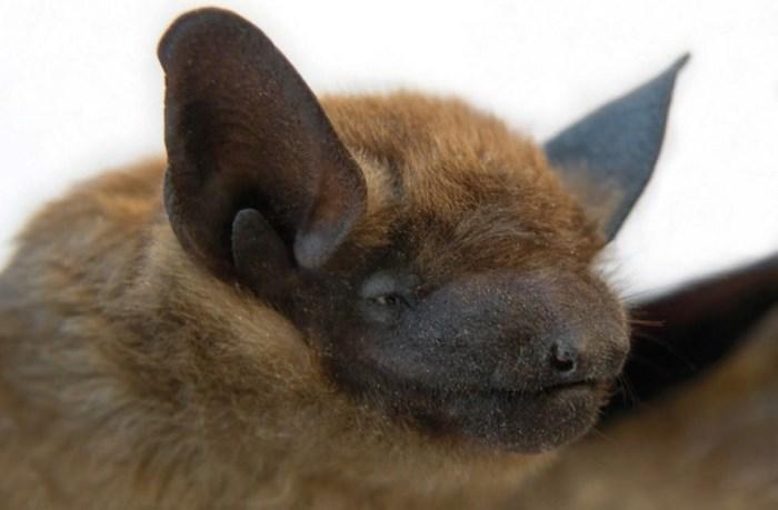 A brown bat. Photo by Kerry O'Gorman via Habitat Acquisition Trust