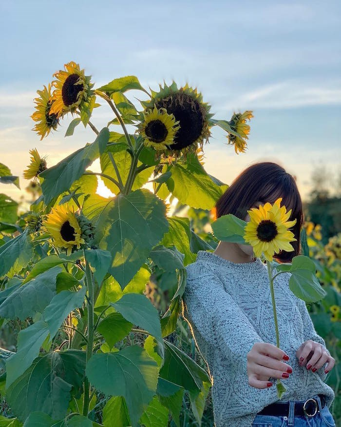 Sunflowers are a popular attraction at Richmond Country Farms. Photo by