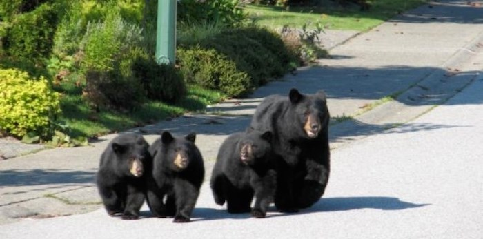 According to data from the organization's Wildlife Alert Reporting Program, there has been a 45.9% increase in Coquitlam and a 137% rise in Port Moody in the first six months of 2019 compared to the same time period last year. Port Coquitlam's numbers have fallen 25.2%. Tri-City News file photo.