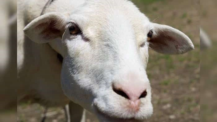 Twin Heart Animal Sanctuary launched a GoFundMe campaign to raise funds to help make the sanctuary safer and more comfortable for Shira, a blind sheep. Photo: Diane Nicholson