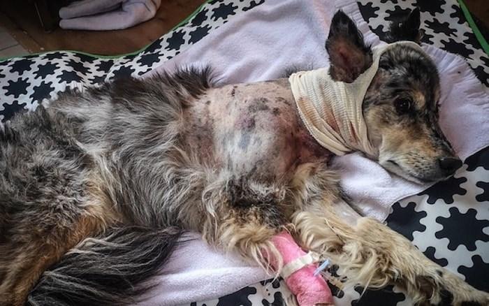 Australian shepherd/blue heeler Molly is recovering following a bear attack on Whistler Mountain on July 25.