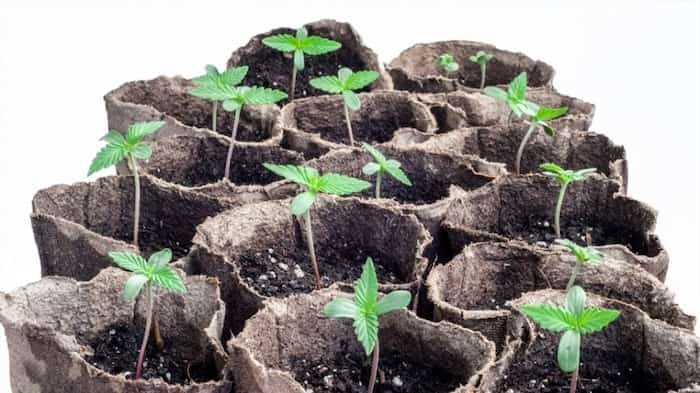 Cannabis seedlings grow from seeds while other small plants that may be for sale in the future could be clones, which are usually grown from clippings | Bondgrunge / Shutterstock