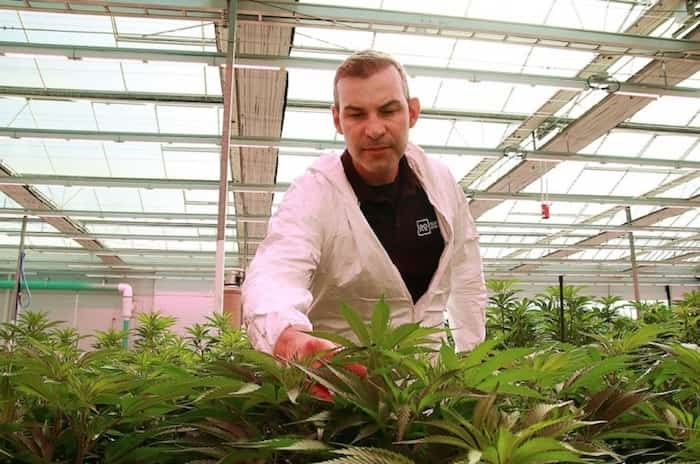 Rubicon Organics CEO Jesse McConnell touches some cannabis plants at his Delta greenhouse | Rob Kruyt