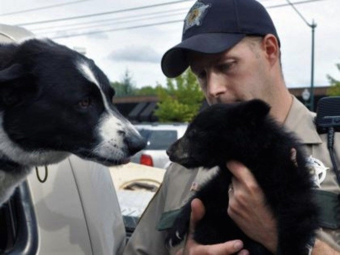 Karelian bear dog with a black bear cub Photo by Washington Department of Fish and Wildlife
