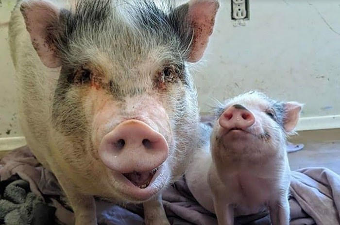 Rescued pigs at The Little Oink Bank Pig Sanctuary. Photo: Carrie Shogan