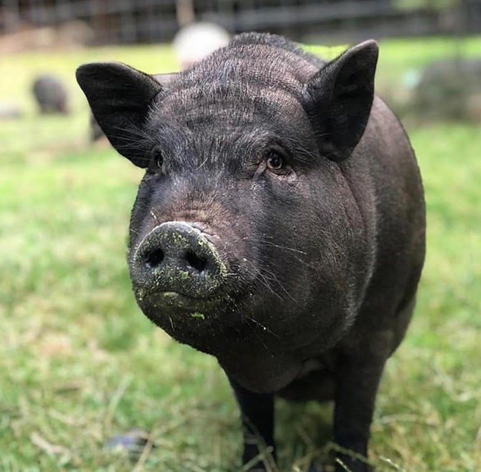 The sanctuary is currently home to 33 pigs (and counting). Photo: Carrie Shogan