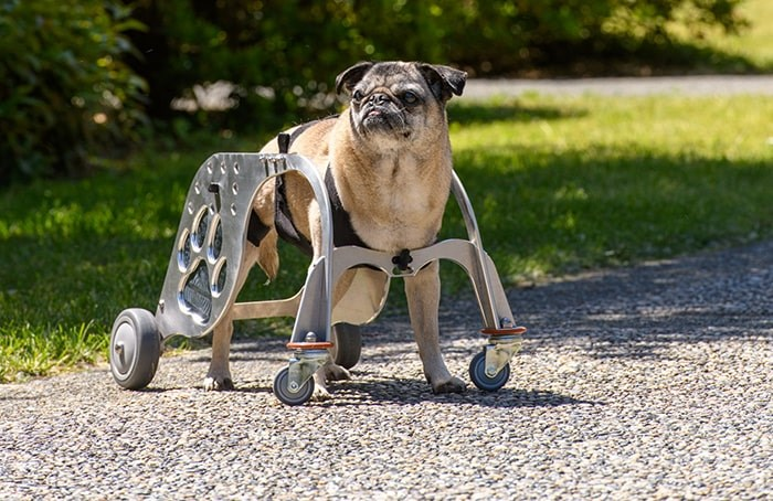 Lily, a 14-year-old pug born with a malformed vertebra, uses the Dog Mobility Device, designed in Burnaby by BCIT's MAKE+ team.