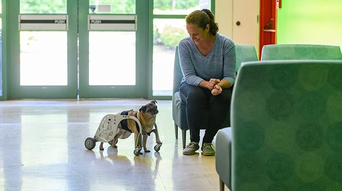 Ann-Marie Fleming, founder and CEO of Dog Quality, watches her pug Lily use the Dog Mobility Device designed in Burnaby by BCIT's MAKE+ team. - BCIT