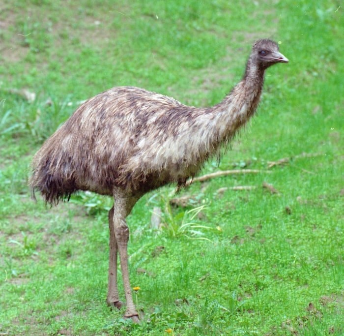 The emu is a large, flightless bird, native to Australia. Photo by D Brash/Times Colonist
