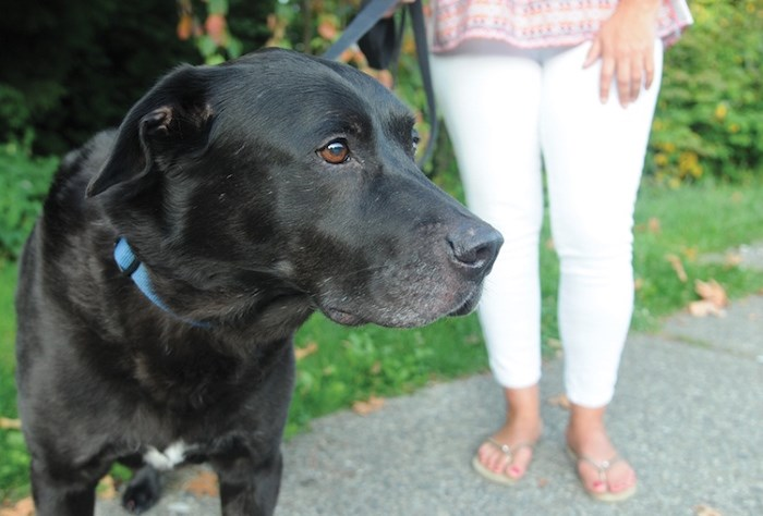 Coal, a 12-year-old Lower Lonsdale black lab, had to be taken to the vet after fending off a raccoon attack, Tuesday. Photo by Mike Wakefield/North Shore News