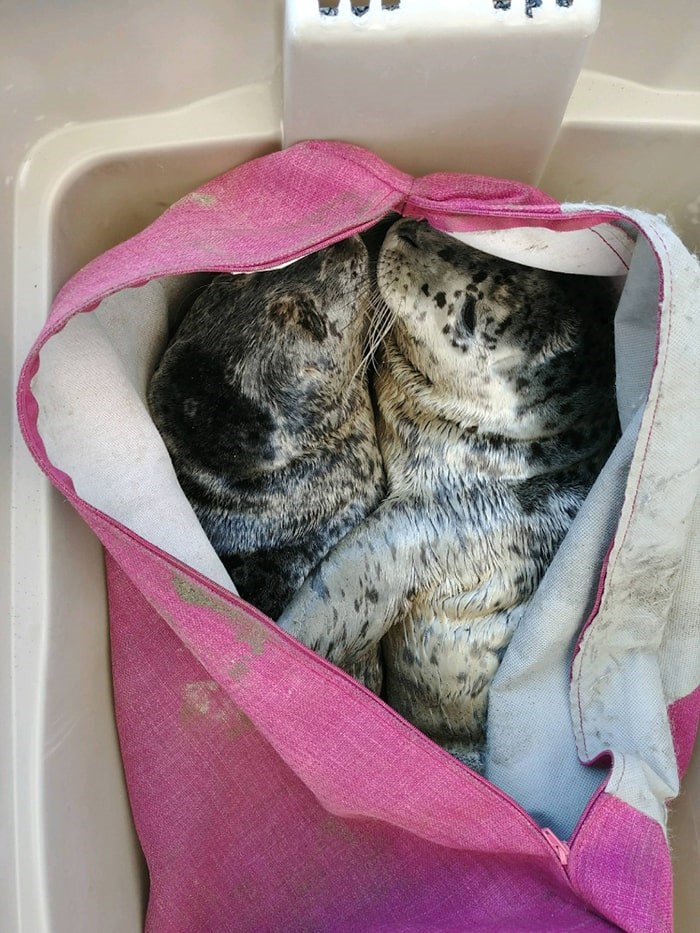 One man scooped up two newborn seal pups  and put them in a couch cushion cover. Photo: Vancouver Aquarium MMRC