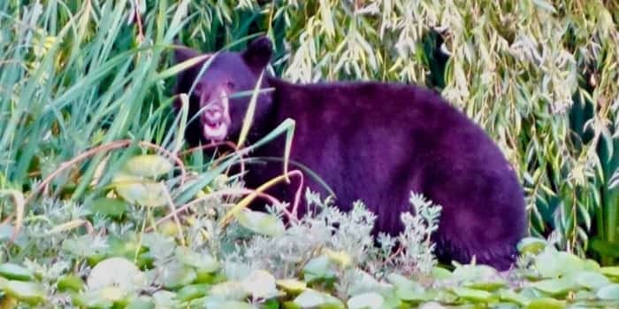 A black bear on the edge of the water at Deer Lake in Burnaby. Photo: John Preissl