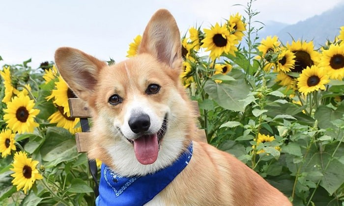 Archie the corgi enjoying the sunflowers in Chilliwack. Photo: Instagram
