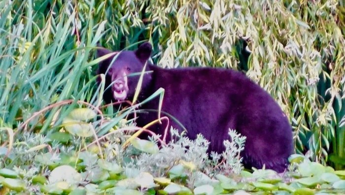 A black bear on the edge of the water at Deer Lake in Burnaby. Photo courtesy John Preissl