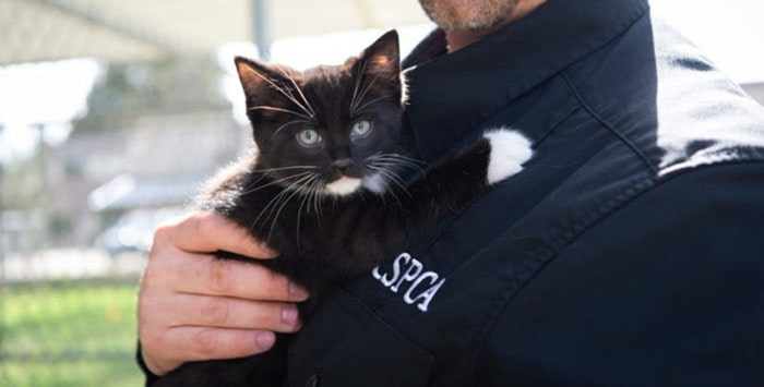 A kitten with a BC SPCA staff member. BC SPCA photo