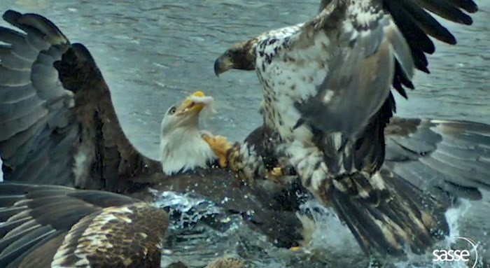 A screen shot of the two eagles fighting in Alaska. Photo: Christian Sasse