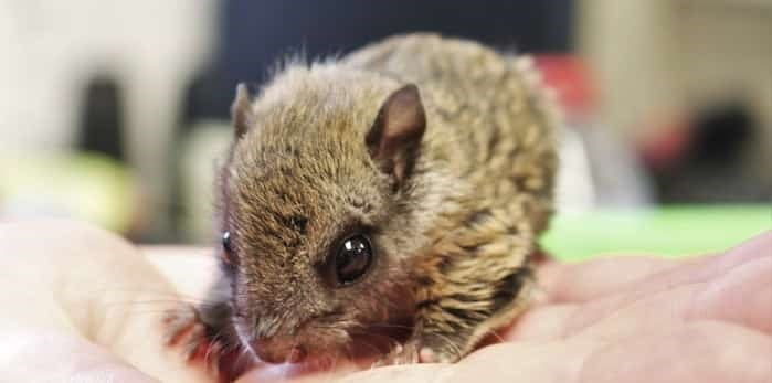 Photo: A northern flying squirrel that's recovering at the centre may be a forever resident, as an educational animal. Photo: Brendan Kergin
