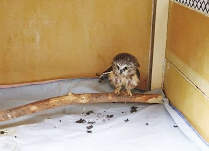 The saw-whet owl is one of Tracy Reynold's favourites. Photo: Brendan Kergin