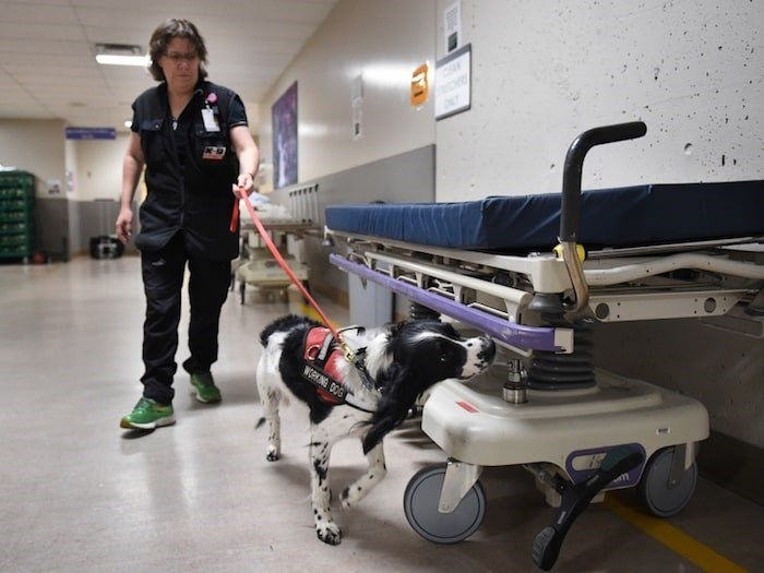 In the three years that the Canine Scent Detection program has been operational at VGH, staff say they have seen a significant improvement of the hospital's ability to combat the spread of the C. diff thanks to Angus and Dodger. Photo Dan Toulgoet