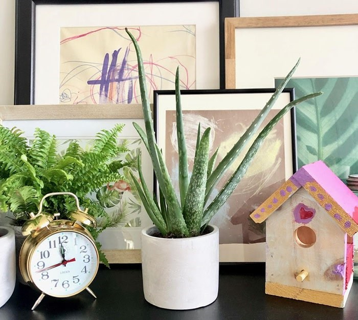 The plant that started it all…Beck the Aloe Vera Plant. Photo: Sarah Shore