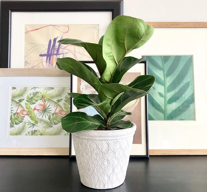 The sought after Fiddle Leaf Fig. This is Wilfred La Fleur the Fiddle Leaf Fig. Photo: Sarah Shore