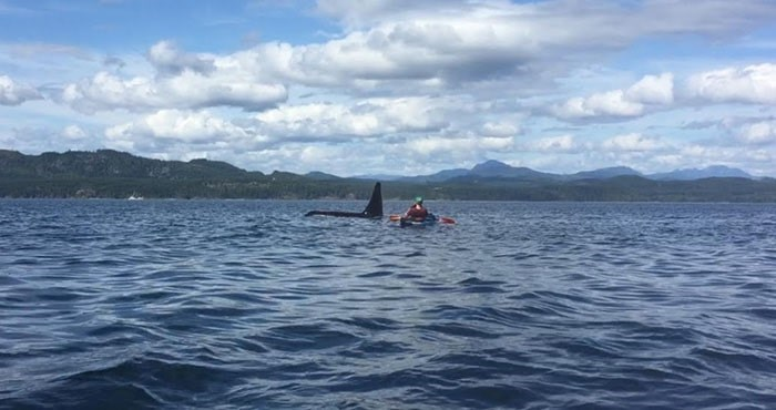 A family of eight orcas swam by kayakers at North Vancouver Island last Monday. Photo: Michael Hack