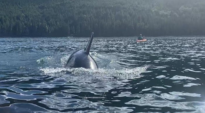 A family of orcas swam by kayakers at North Vancouver Island last Monday. Photo: Michael Hack