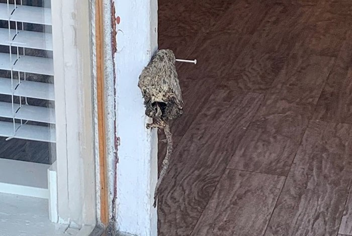 A dead rat was nailed to the door more than once in recent months. Photo Vancouver Rape Relief/Twitter