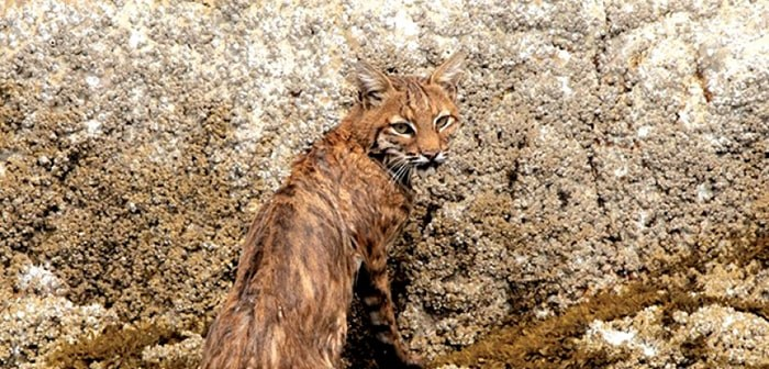 A bobcat swam through Narrows Inlet the afternoon of Aug. 20. Photo: Dolf Vermeulen Creative (