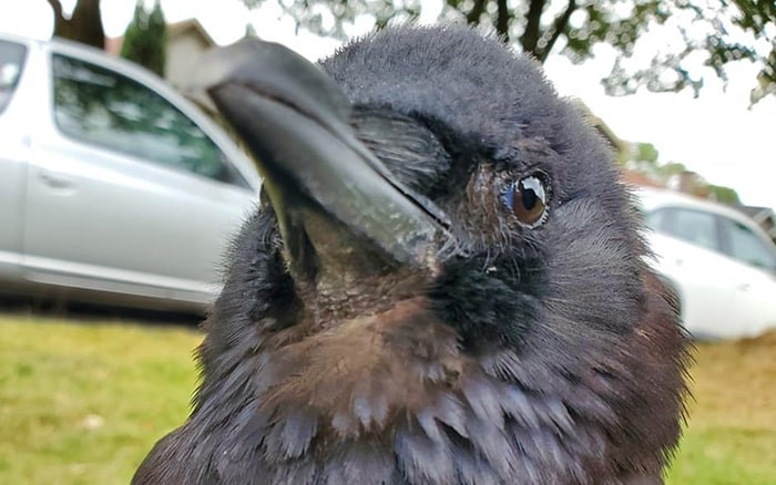 Fans of Vancouver's famous crow, Canuck, have banded together to donate a $10,000 reward to help bring the bird home, after he went missing last week. Photo: Shawn Bergman