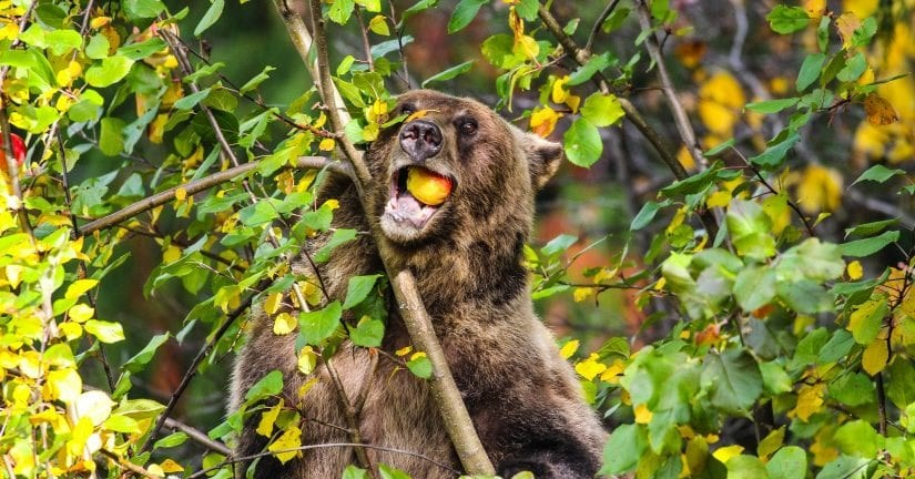 The wine is made using surplus apples sourced from local properties, with the goal of deterring bears from entering developed areas in search of leftover or fallen fruit. Photo: Jeff Reibin
