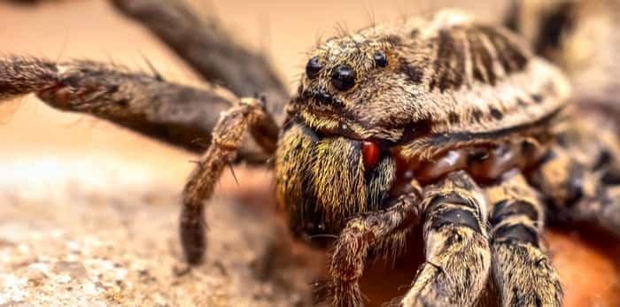 Photo: Wolf spider / Shutterstock