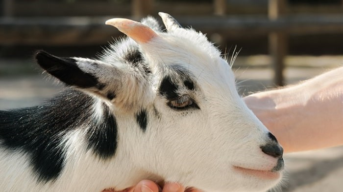 B.C.'s Supreme Court has dismissed a lawsuit against the Pacific National Exhibition (PNE) and others alleging a child became sick after an E. coli outbreak in 2009 at a petting zoo in the agricultural building. Photo: Shutterstock