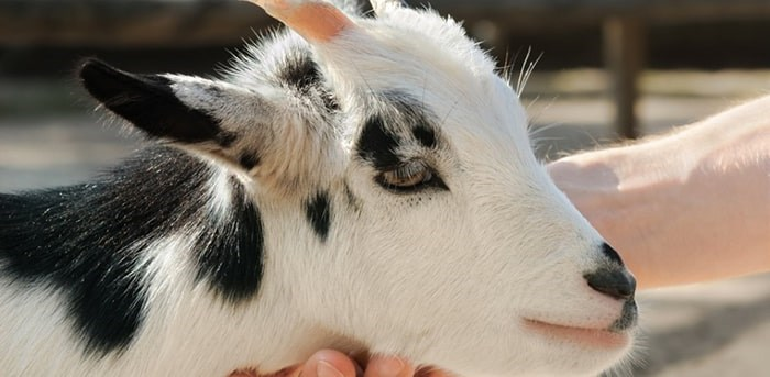 Lawsuit Against Pne Petting Zoo Alleging Children Became Sick From E Coli Dismissed Vancouver Is Awesome