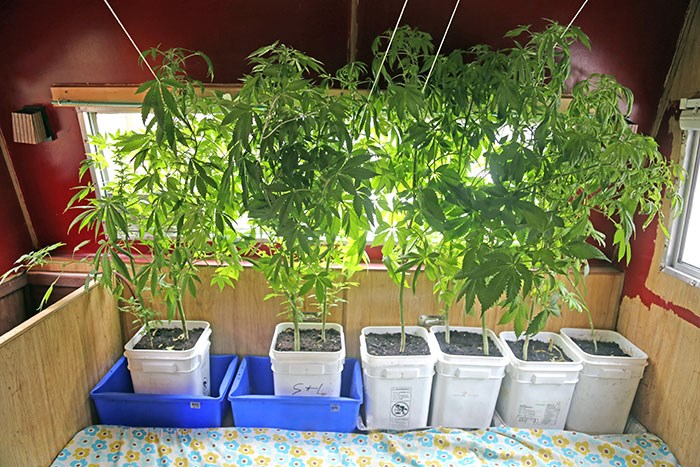 Cannabis plants growing inside an RV in Vancouver. Photo Bob Kronbauer