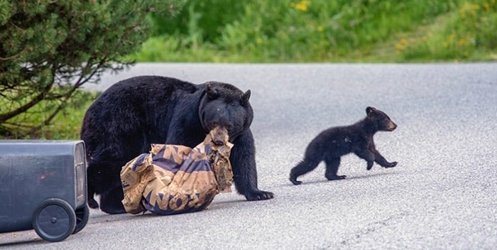 A Coquitlam resident snapped this picture in his Heritage Mountain neighbourhood of a mother bear and cub looking for food on garbage day.