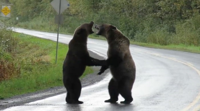 Two bears were recently caught scrapping in Northern B.C. Photo: Cari McGillivray