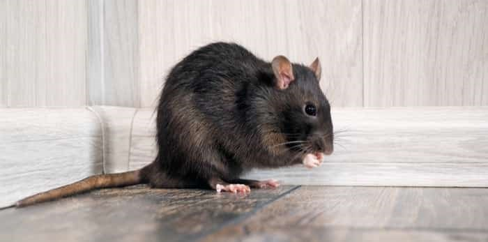 Photo: Rat in the house on the floor / Shutterstock
