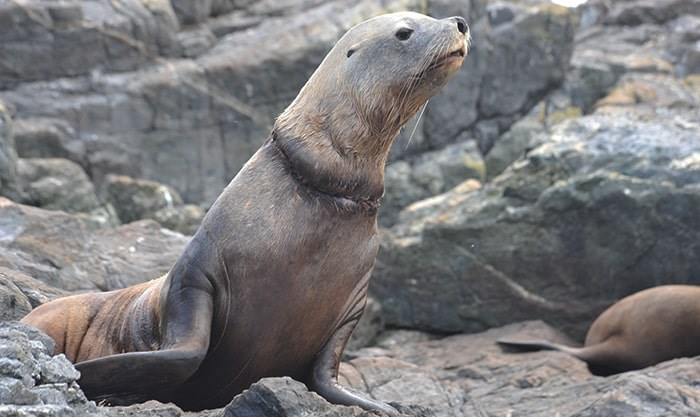 The male stellar sea lion had a plastic packing band stuck around its neck. Photo: Sea Doc Society