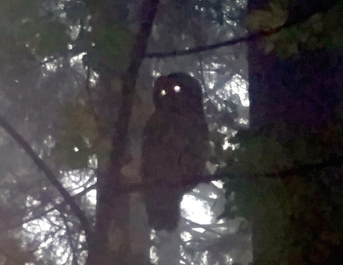 Kristina Harvey said she managed to take a photo of an owl she said attacked her on a hike up Burnaby Mountain Thursday morning. Photo by Kristina Harvey